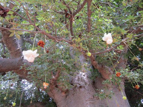 Baobab de noel