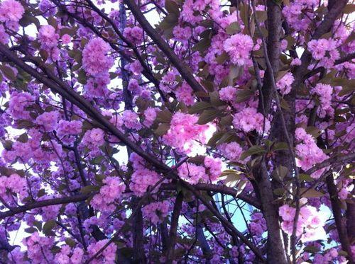 Cerisier deu Japon en fleurs